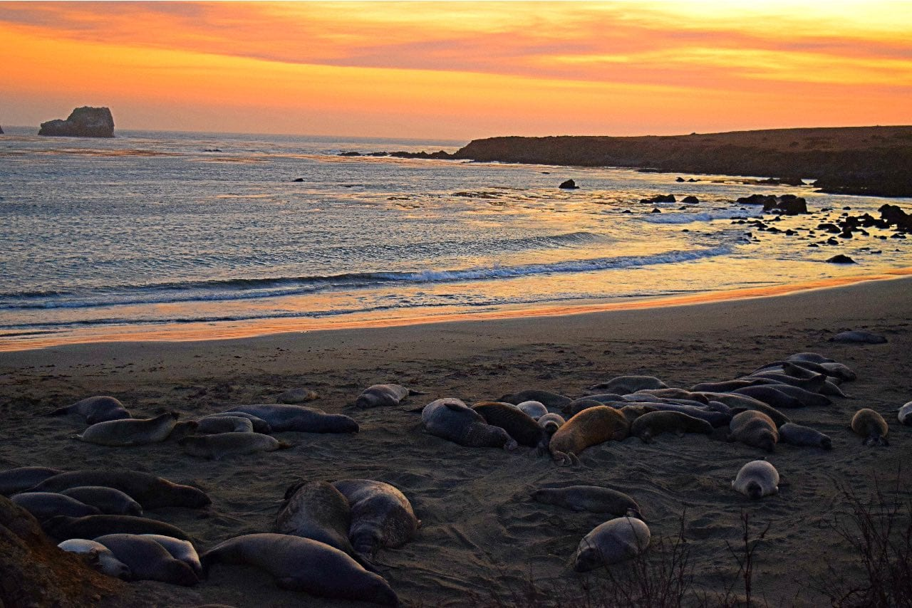 Elephant Seals at Piedras Blancas Lighthouse